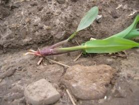 planting-corn-into-wet-soils_3