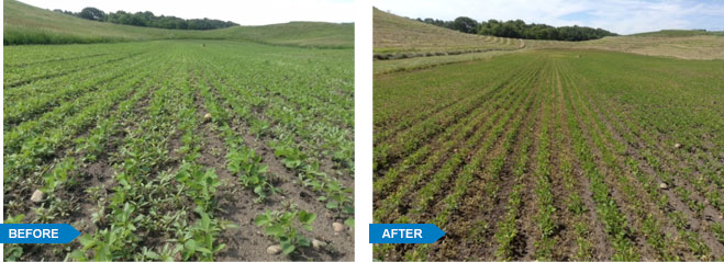 Water Hemp in Meeker County, MN before and after