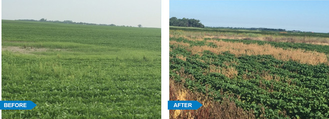 Water Hemp in Ransom County, MN before and after