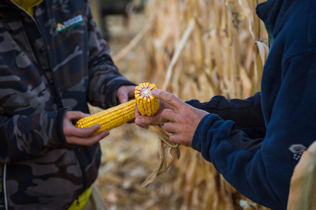 Choosing corn hybrids each year