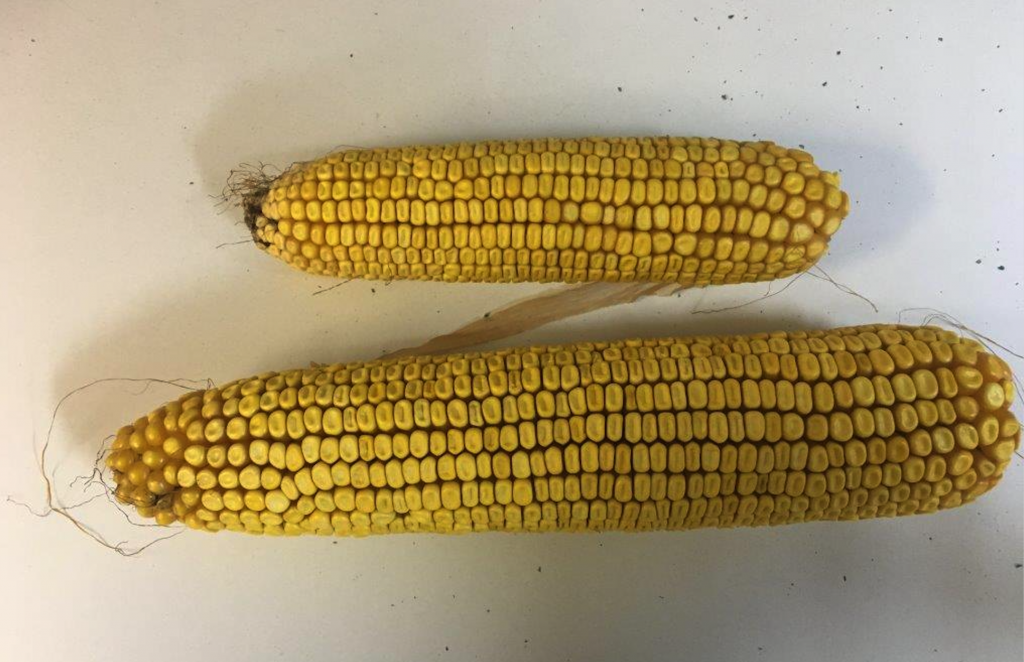 Uniform Stand Establishment is key factor in corn yield